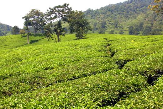 Kebun teh di Bandung